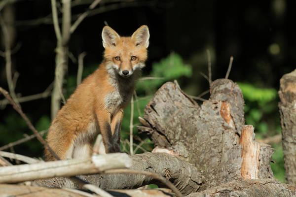 Wall Art - Photograph - Curious Fox by Everet Regal