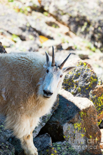 Photograph - Curious Goat On The Mount Massive Summit by Steve Krull