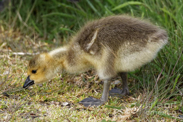Photograph - Curious Gosling by Sue Harper
