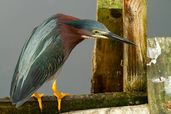 Curious Green Heron Art Print