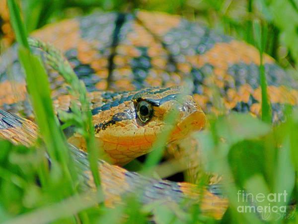 Eastern Hognose Snake Photograph - Curious Hognose by Michele Hancock