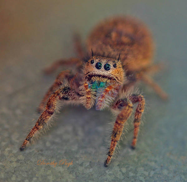 Photograph - Curious Jumping Spider by Dorothy  Pugh