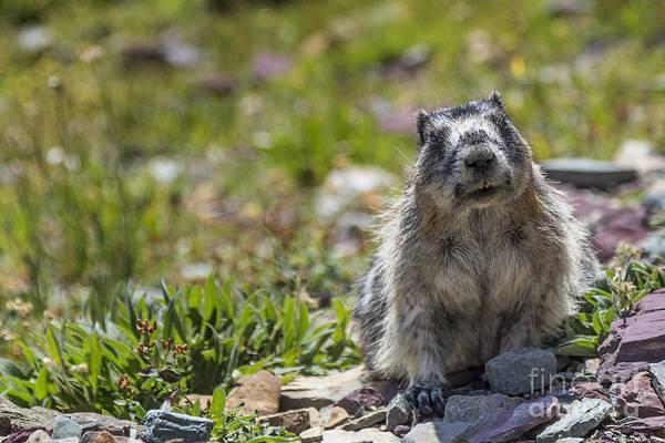 Photograph - Curious Marmot by Jemmy Archer