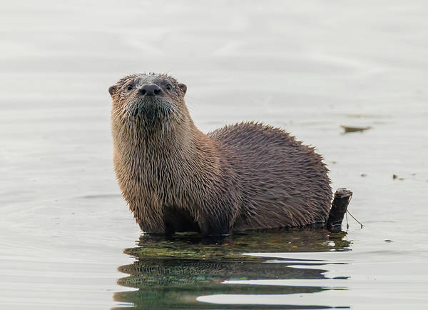 Photograph - Curious Otter by Loree Johnson