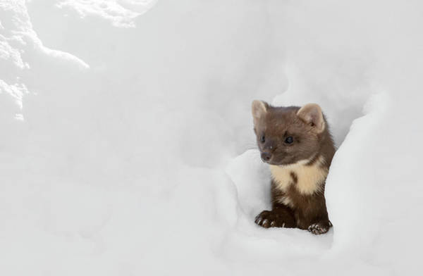 Photograph - Curious Pine Marten In Winter by Arterra Picture Library
