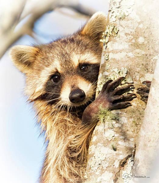 Photograph - Curious Raccoon 6054 by Dan Beauvais