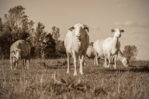 Photograph - Curious Sheep by James  Meyer