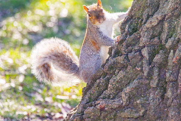 Photograph - Curious Squirrel by SR Green