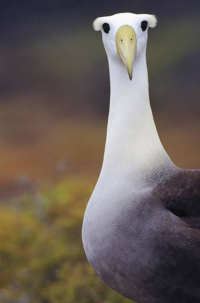 Waved Albatross Wall Art - Photograph - Curious Waved Albatross by Tui De Roy
