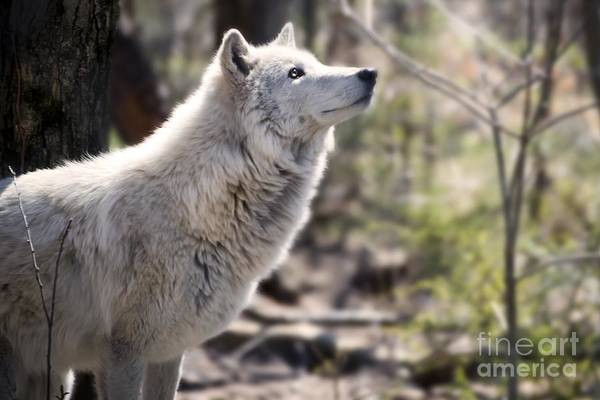 Timberwolves Photograph - Curious Wolf by Anthony Sacco