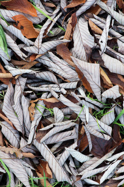 Silvery Photograph - Curled Leaf Litter by Tim Gainey