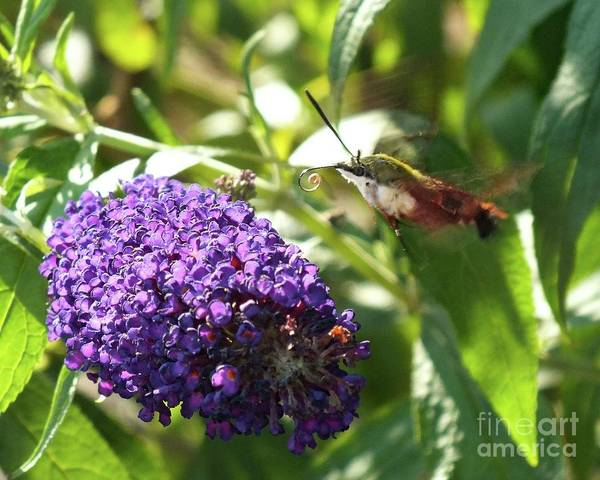 Clearwing Moth Photograph - Curled Proboscis - Clearwing Hummingbird Moth by Cindy Treger