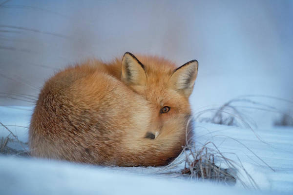 Wall Art - Photograph - Curled Up Fox by Happy Home Artistry