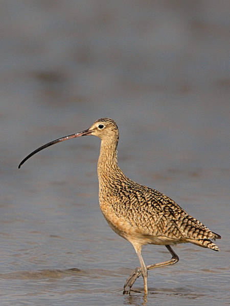 Photograph - Curlew by Charles McKelroy