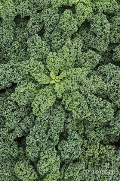Hybrid Photograph - Curly Kale by Tim Gainey