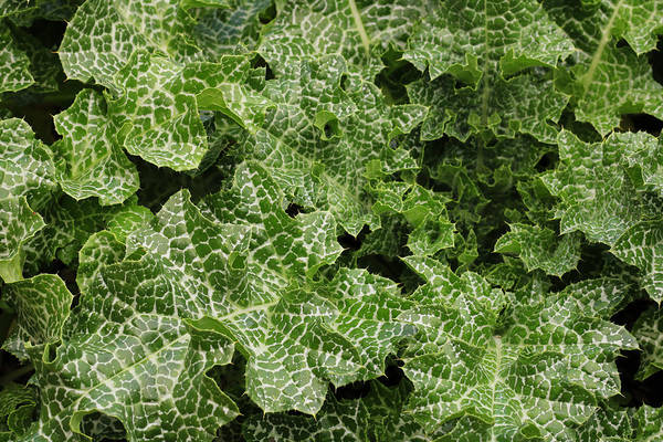 Photograph - Curly Variegated Leaves by Rachel Cohen