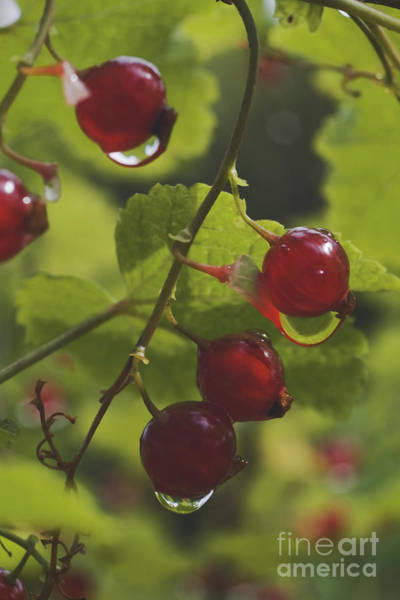 Wall Art - Photograph - Currants by Wedigo Ferchland
