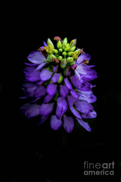 Photograph - Curtis Milkwort by Barbara Bowen