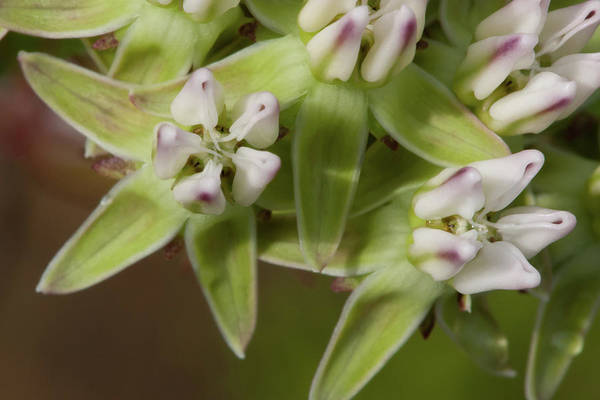 Photograph - Curtiss' Milkweed #4 by Paul Rebmann