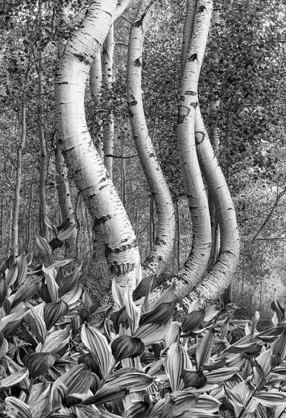 Photograph - Curved Aspens by Angela Moyer