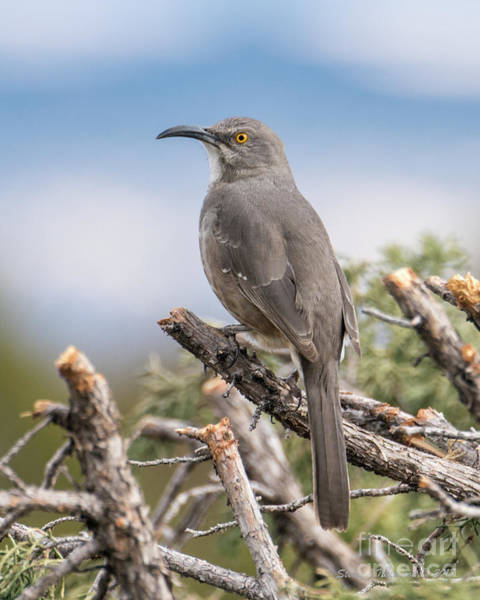 Photograph - Curved Billed Thrasher by Steven Natanson