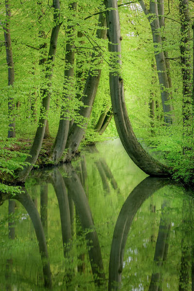 Photograph - Curved Trees by Mario Visser