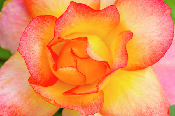 Photograph - Curves Of A Pink And Yellow Rose by Teri Virbickis