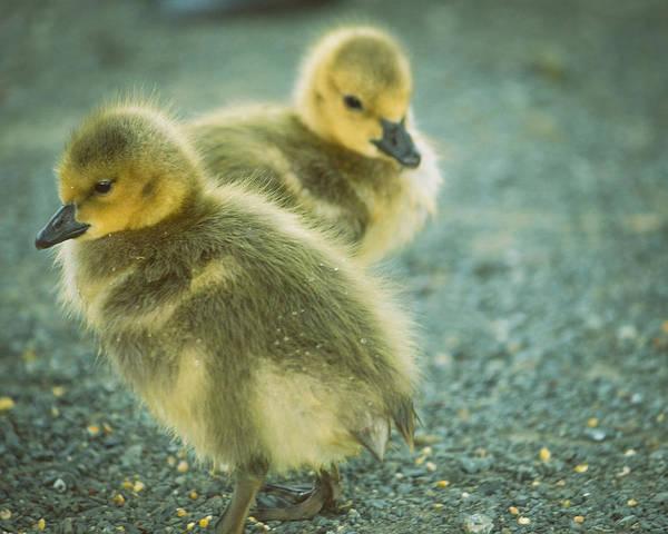 Unisex Photograph - Cute Baby Ducks Waddling  by Lynn Langmade
