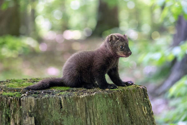 Photograph - Cute Baby Fisher On Stump by Dan Friend
