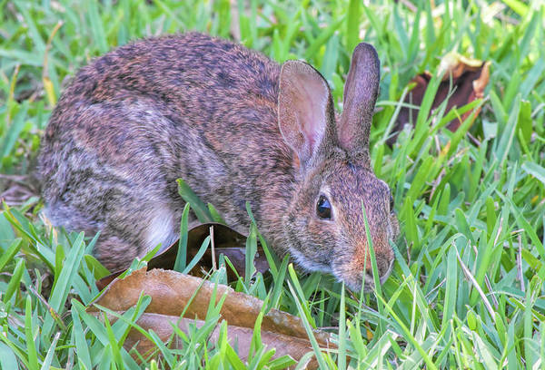 Sylvilagus Floridanus Photograph - Cute Bunny-redundant by William Tasker