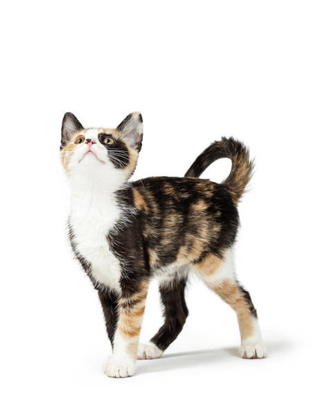 Wall Art - Photograph - Cute Calico Kitten Looking Up Into Copy Space by Susan Schmitz