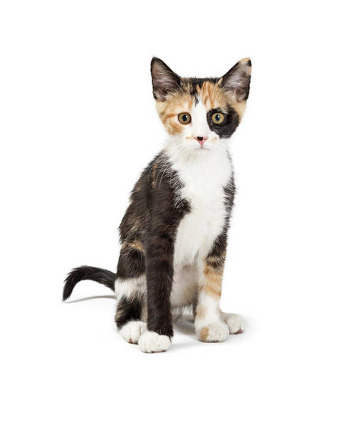 Wall Art - Photograph - Cute Calico Kitten Sitting Looking Forward Isolated by Susan Schmitz