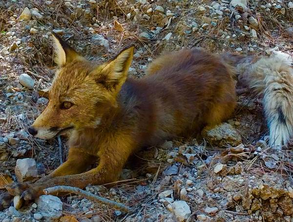 Photograph - Cute Fox Friend  by Colette V Hera Guggenheim