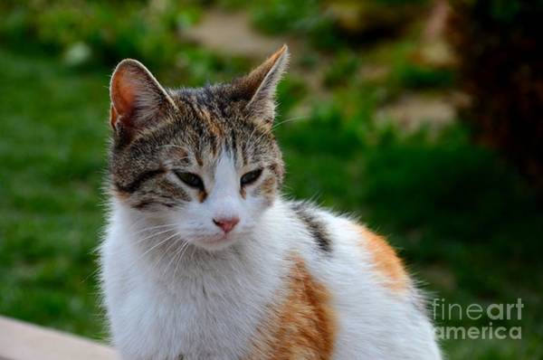 Photograph - Cute Grey White And Orange Cat Poses And Gazes by Imran Ahmed