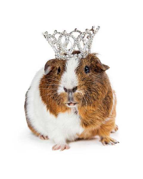 Cutout Wall Art - Photograph - Cute Guinea Pig Wearing Tiara by Susan Schmitz