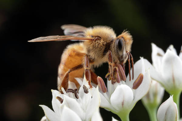 Photograph - Cute Honey Bee by Brian Hale
