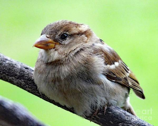 White-throated Sparrow Photograph - Cute Juvenile House Sparrow by Cindy Treger