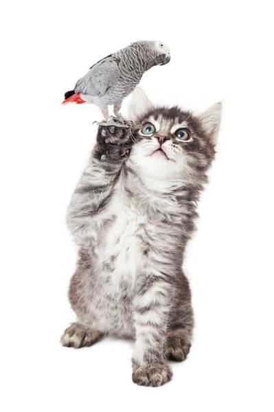 Photograph - Cute Kitten Holding Parrot Bird by Susan Schmitz