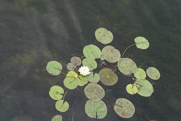 Lillypad Photograph - Cute Lily Pad Visitor - A Little Turtle Emerging Among The Waterlilies by Georgia Mizuleva