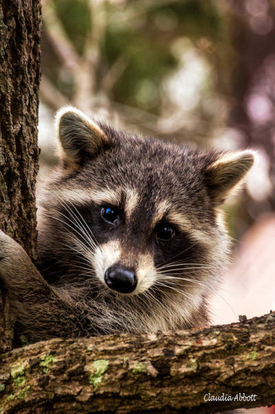 Photograph - Cute Little Raccoon  by Claudia Abbott