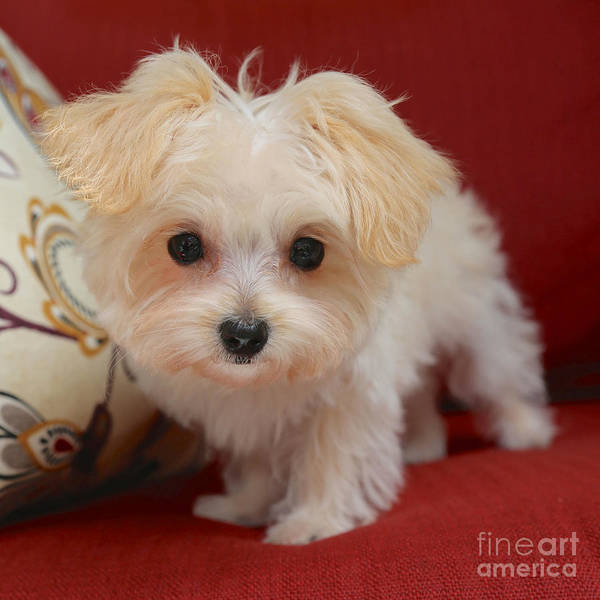Photograph - Cute Maltipoo by Carol Groenen