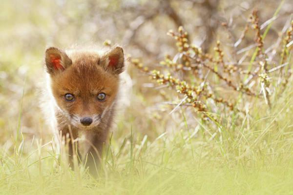 Kit Fox Photograph - Cute Overload - Baby Fox Kit by Roeselien Raimond