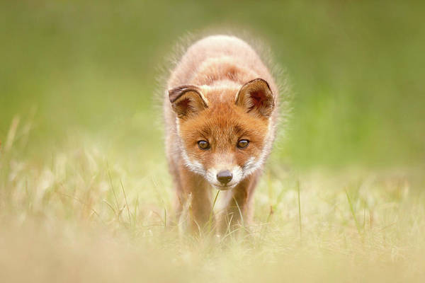 Wall Art - Photograph - Cute Overload Series - Baby Fox Exploring The World by Roeselien Raimond