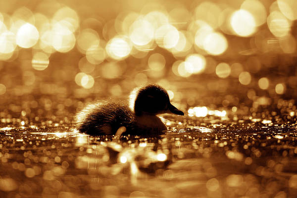 Wildfowl Photograph - Cute Overload Series - Duckling Reflections by Roeselien Raimond