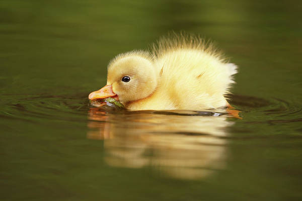 Wall Art - Photograph - Cute Overload Series - The Very Hungry Duckling by Roeselien Raimond
