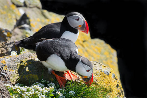 Photograph - Cute Puffin Couple In Iceland by Matthias Hauser