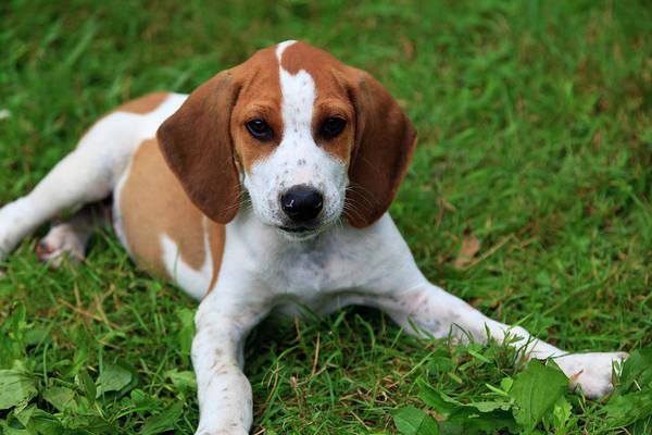 Photograph - Cute Puppy by Jill Lang