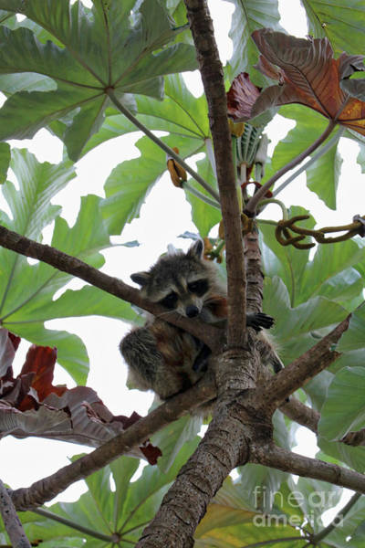 Photograph - Cute Raccoon In Tree by Carol Groenen