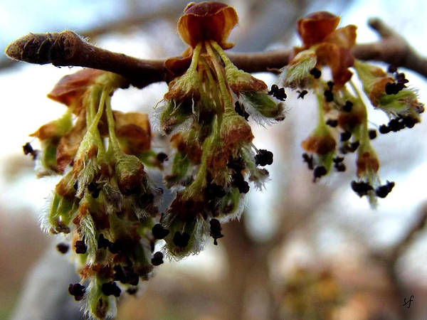 Photograph - Cute Rock Elm Flowers by Shelli Fitzpatrick