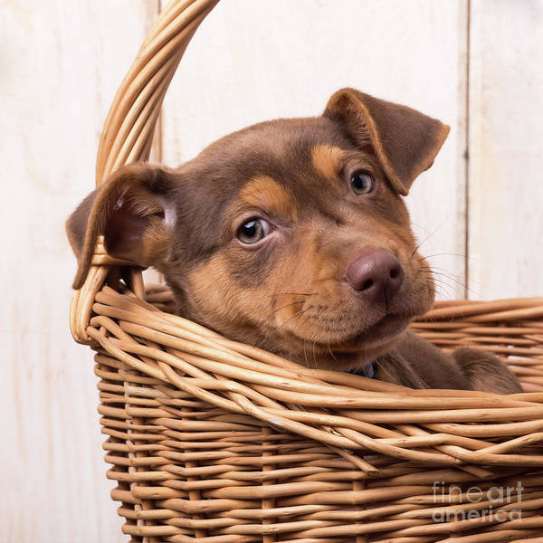 Sweet Puppy Photograph - Cute Sato Puppy In A Basket by Edward Fielding